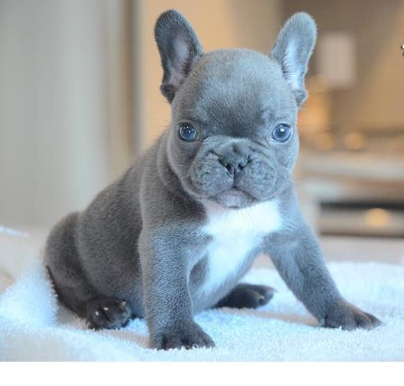 Puppies For Sale From Stacey Licensed Dog Breeders Since 2000